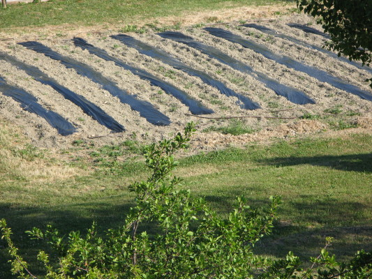 I campi di peperoncino pacciamati